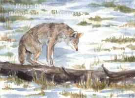 Searching Coyote ACEO by Pannya