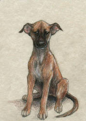 Greyhound puppy ACEO by Pannya