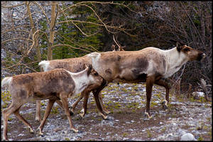 Alaska Highway Caribou, BC (2004) by Khoshq