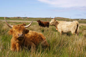 Highland Cows by glueface