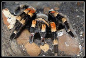 Mexican Red-Kneed Tarantula by UrsusAmericanus