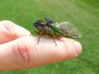 Cicada! by JRSchrader