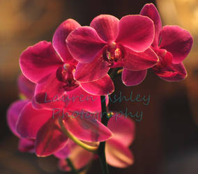 Orchids Flowers by LaurenAshley-Photos