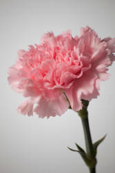 Carnation by OnyxFox