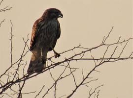 Red-shoudered Hawk by SylBird