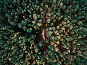 Old Pines by Innadril