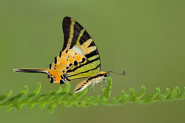 Five Bar Swordtail 040409 by inckurei