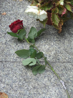 Red Rose on the grave of St. Jasiukiewicz by marien-von-merryen