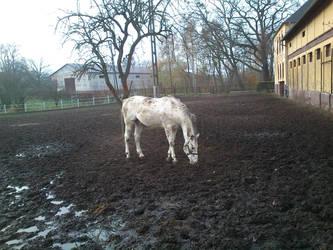 Warmblood stallion Tabasko by marien-von-merryen