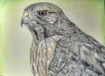 Red-shouldered Hawk by corvus16