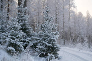 Wintery spruces 1 - unrestricted stock by MariaLoikkii