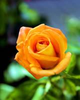 Greek Rose - Orange by xxSmack111