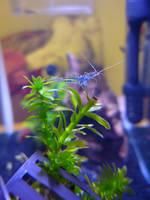 Ghost Shrimp by cyankali