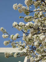 White Cherry by cyankali