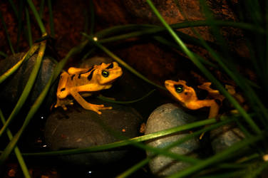 Frogs of Gold by eapo