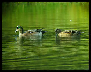 Mr and Mrs American Wigeon by swashbuckler