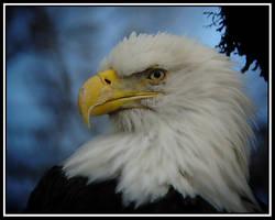 Skagit Bald Eagle by swashbuckler