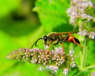 Black Orange Wasp Bee by swashbuckler