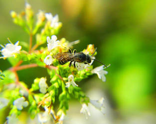 Blask Wasp Bee by swashbuckler