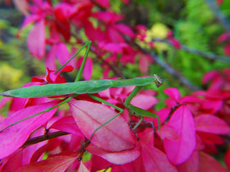 Yard Mantis by swashbuckler