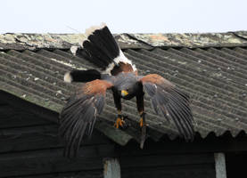 Harris Hawk Stock 16 by LRG-Photography
