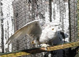 Snowy Owl Stock 6 by LRG-Photography