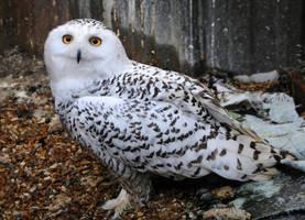 Snowy Owl Stock 7 by LRG-Photography