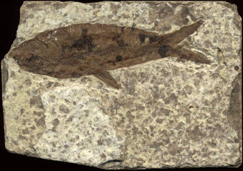 Fish fossil_Stock by Talec