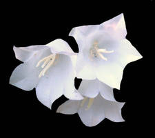 White flower bells by babsartcreations