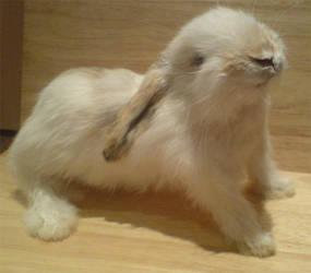 Taxidermy Rabbit by amandas-autopsies