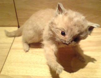 Taxidermy kitten by amandas-autopsies