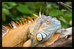 Iguana portrait by deaconfrost78