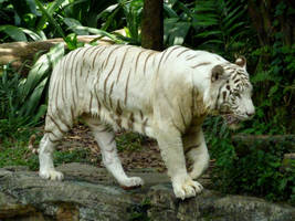 White Tiger Stock 1 by C0L