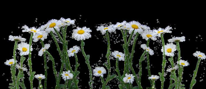 Daisies by Eirian-stock