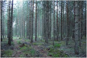 BG Pine Forest I by Eirian-stock