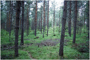 BG Pine Forest II by Eirian-stock