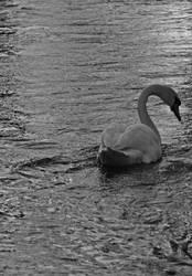 Queens swan by Cheynez