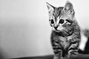 BW kitty by shadddow