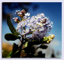 Early Blossom by Vividlight