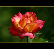 September Rose by Vividlight