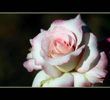 Fall Rose by Vividlight