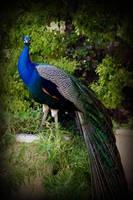 Peacock 1 by Vividlight