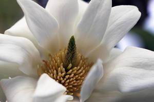 Magnolia Beauty by Vividlight