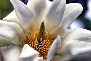 Magnolia Reduex by Vividlight