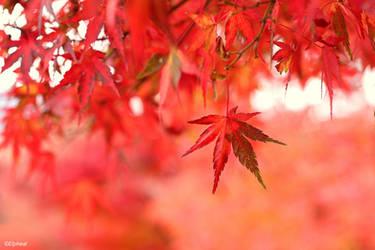 Red Maples @ Lake Kawaguchiko by elpheal