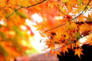 Red maples (japan) by elpheal