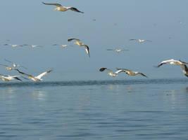 pelicani by qawra