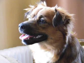 Dog Mopsik close up 26 March 2016 by majan22