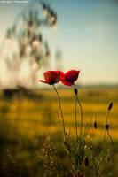 poppys by panosozi
