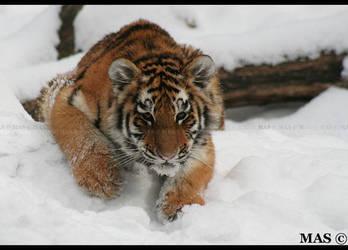 Tiger Cub 2499 by MASOCHO